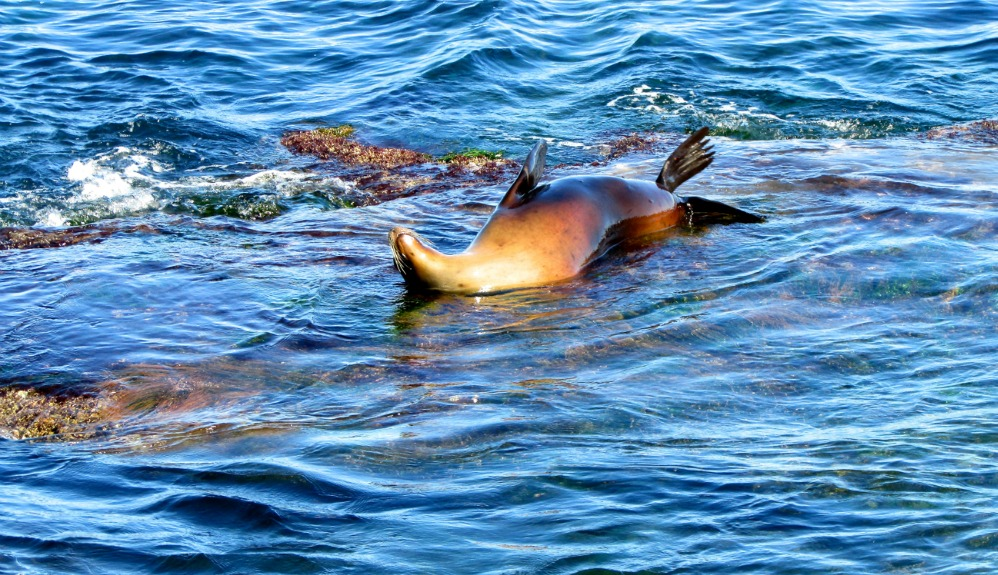 Sea Lion Summer Both Humans And Pinnipeds Pete For La Jolla Cove