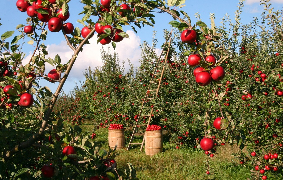 Where To Go Apple Picking In San Diego Lajolla Com
