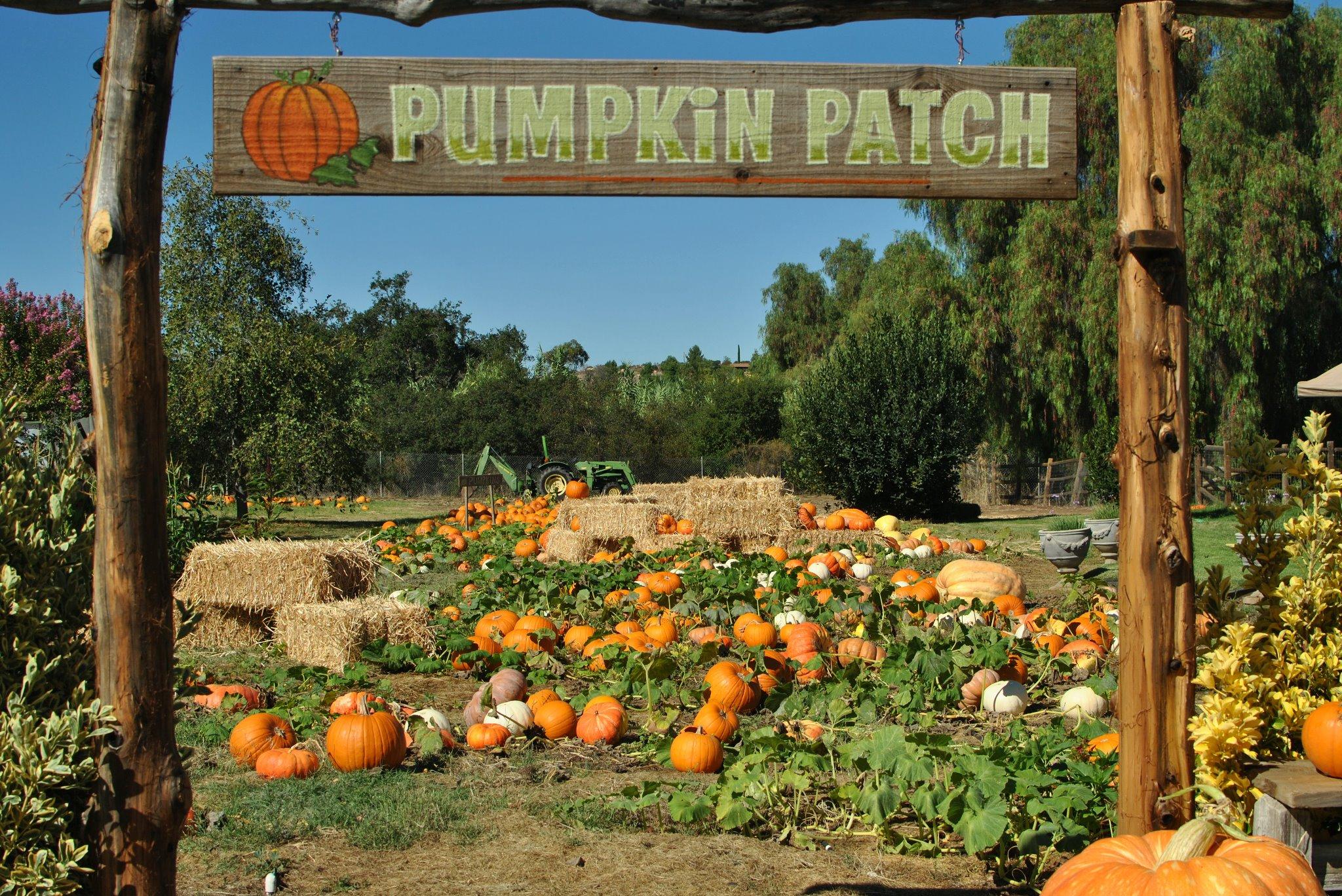 Variety picture of lavender hill pumpkins, fallbrook tripadvisor.