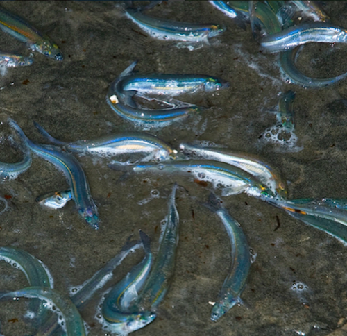 grunion run san diego
