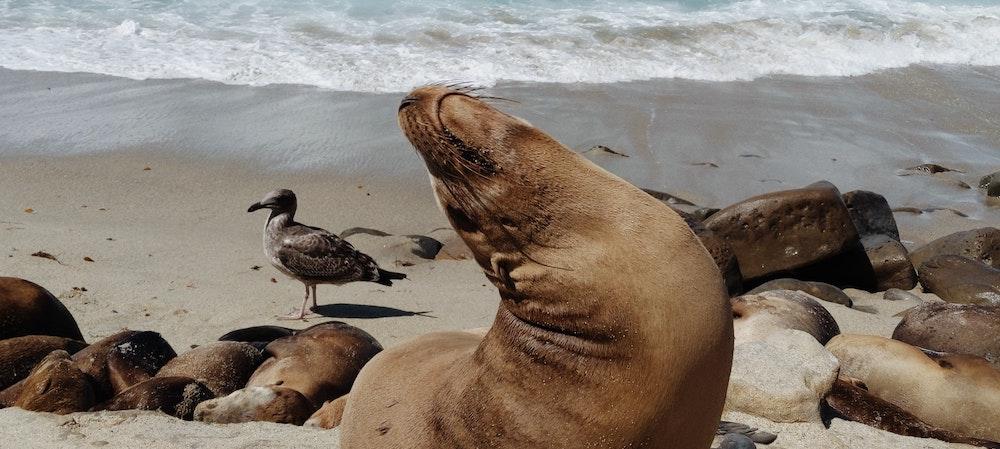 La Jolla Sea Lion Rookery