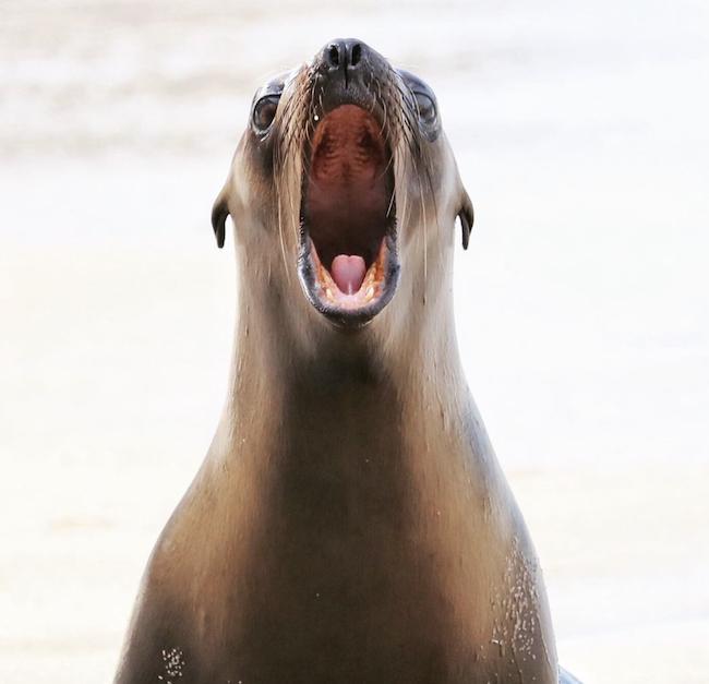 A La Jolla Sea Lion