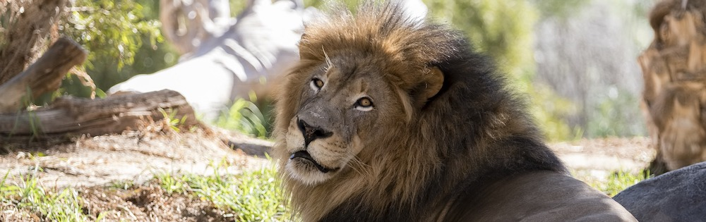 A lion at the San Diego Zoo